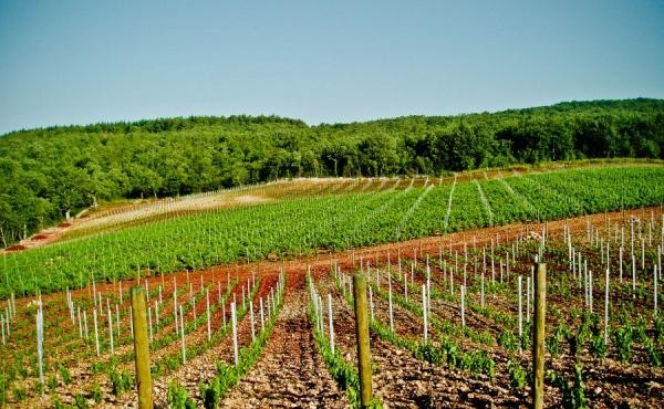 Виноградники на продажу в центре Истрии